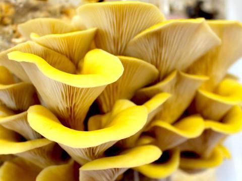 I funghi ottenuti dai fondei del caffè
